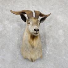 Feral Goat Shoulder Mount For Sale #19450 @ The Taxidermy Store