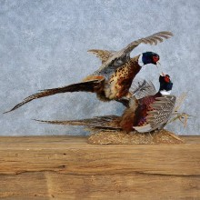 Fighting Ringneck Pheasants Mount For Sale #15409 @ The Taxidermy Store