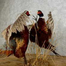Fighting Ringneck Pheasant Pair Taxidermy Bird Mount For Sale