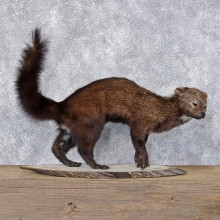 Fisher Life Size Taxidermy Mount #12405 For Sale @ The Taxidermy Store