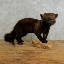 Fisher Life Size Taxidermy Mount #17218 For Sale @ The Taxidermy Store