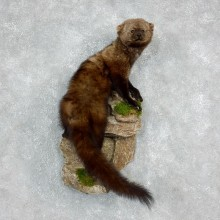 Fisher Life Size Standing Taxidermy Mount #17971 For Sale @ The Taxidermy Store