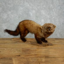 Fisher Life Size Taxidermy Mount #18007 For Sale @ The Taxidermy Store