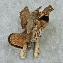 Flying Ruffed Grouse Mount