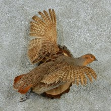 Hungarian Grey Partridge