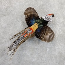 Flying Lady Amherst Pheasant Taxidermy Bird Mount For Sale