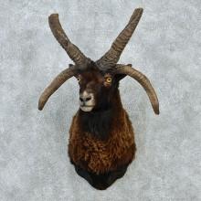 Black Jacobs Four Horn Ram Shoulder Mount