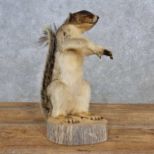 Fox Squirrel Life-Size Taxidermy Mount For Sale