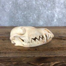 Fox Full Skull Mount For Sale #19839 @ The Taxidermy Store