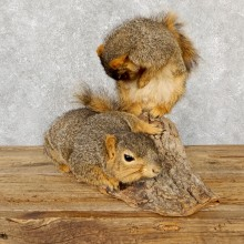Fox Squirrel Mount For Sale #19399 @ The Taxidermy Store