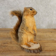 Fox Squirrel Mount For Sale #20738 @ The Taxidermy Store