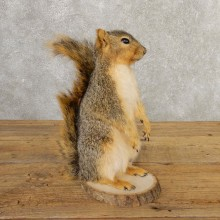 Fox Squirrel Mount For Sale #20739 @ The Taxidermy Store