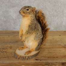 Fox Squirrel Mount For Sale #20742 @ The Taxidermy Store