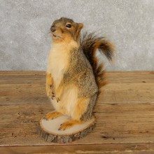 Fox Squirrel Mount For Sale #20743 @ The Taxidermy Store
