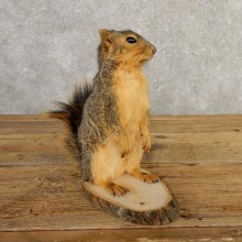 Fox Squirrel Mount For Sale #20744 @ The Taxidermy Store