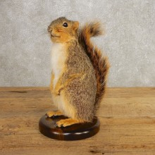 Fox Squirrel Mount For Sale #21245 @ The Taxidermy Store