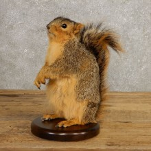 Fox Squirrel Mount For Sale #21247 @ The Taxidermy Store