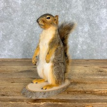 Fox Squirrel Mount For Sale #21674 @ The Taxidermy Store