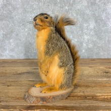 Fox Squirrel Mount For Sale #21675 @ The Taxidermy Store