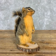 Fox Squirrel Mount For Sale #21676 @ The Taxidermy Store