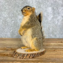 Fox Squirrel Mount For Sale #21678 @ The Taxidermy Store