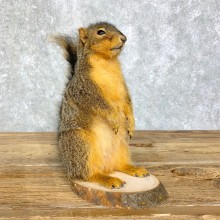Fox Squirrel Mount For Sale #21682 @ The Taxidermy Store