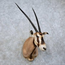 Fringe-eared Oryx Shoulder Mount For Sale #15841 @ The Taxidermy Store