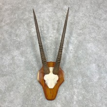 Fringe-Eared Oryx Skull Horns European Plaque Mount #22136 For Sale @ The Taxidermy Store