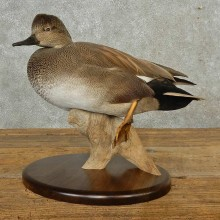 Gadwall Duck Bird Mount For Sale #16686 @ The Taxidermy Store