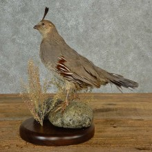 Gambel's Quail Bird Mount For Sale #17010 @ The Taxidermy Store