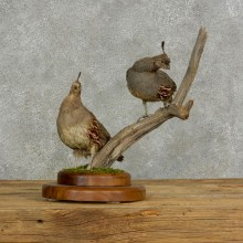 Gambel's Quail Bird Mount For Sale #17124 @ The Taxidermy Store