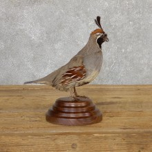 Gamble Quail Life-Size Mount For Sale #19807 @ The Taxidermy Store