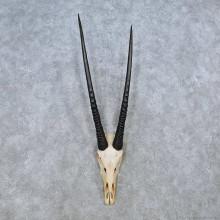 Gemsbok Skull European Mount For Sale