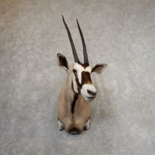 Gemsbok Oryx Shoulder Mount For Sale #21318 @ The Taxidermy Store