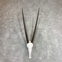 Gemsbok Skull Horns European Mount #21970 For Sale @ The Taxidermy Store