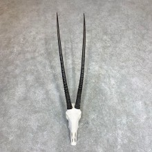 Gemsbok Skull Horns European Mount #21971 For Sale @ The Taxidermy Store