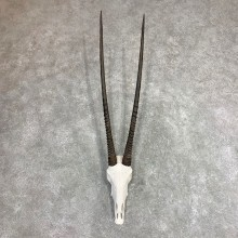 Gemsbok Skull Horns European Mount #21973 For Sale @ The Taxidermy Store
