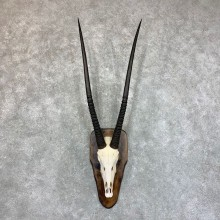 Gemsbok Skull Horns European Mount #22734 For Sale @ The Taxidermy Store