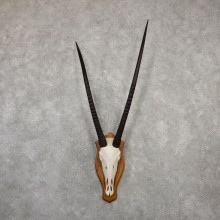 Gemsbok Skull Horns European Plaque Mount #20062 For Sale @ The Taxidermy Store