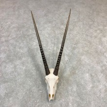 Gemsbok Skull Horns European Plaque Mount #21839 For Sale @ The Taxidermy Store