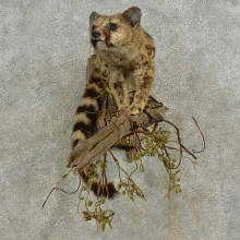African Genet Cat Taxidermy Mount For Sale