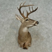 Whitetail Deer Shoulder Mount For Sale #16682 @ The Taxidermy Store