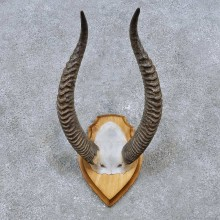 Gerenuk Horn Plaque Taxidermy Mount For Sale