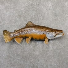 German Brown Trout Fish Mount For Sale #20053 @ The Taxidermy Store