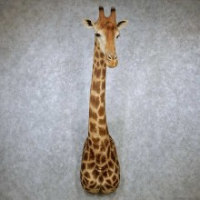 African Giraffe Shoulder Taxidermy Mount #13190 For Sale @ The Taxidermy Store
