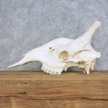 African Giraffe Skull For Sale #14691 @ The Taxidermy Store