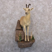 Tibetan Goa Gazelle Half Life Size Taxidermy Mount #12299 For Sale @ The Taxidermy Store