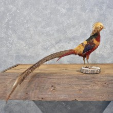 Golden Pheasant Bird Mount #12207 For Sale @ The Taxidermy Store