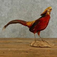 Golden Pheasant Taxidermy Bird Mount For Sale