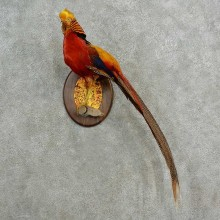 Golden Pheasant Bird Mount For Sale #16984 @ The Taxidermy Store